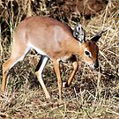 Steenbok by Antionette
