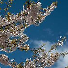 Joy of life. Light pink spring cherry tree against blue sky. by naturematters