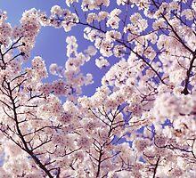 Cherry blossom over blue sky art photo print by ArtNudePhotos