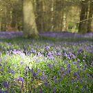 Bere Forest Bluebells by Matthew Folley