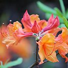 Pink And Peach Wild Azaleas  by Cynthia48