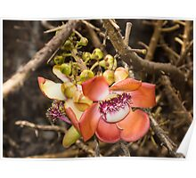 Exotic Cannonball Tree Flowers - Honolulu, Hawaii Poster