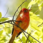 Summer Tanager by SuddenJim