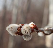 Pussy Willow, A sure sign of Spring by Stephen Thomas