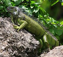 Green Iguana by Ann  Van Breemen