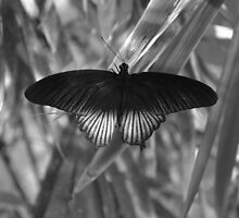 Black Wings by Ritscher