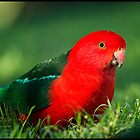 King Parrot from the Bunya Mountains by maplegirl67