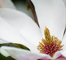 White Magnolia Macro by BonniePhantasm