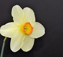 Little Yellow Daffodil  by Kathleen Brant