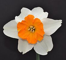 Daffodil Facing Front by Kathleen Brant