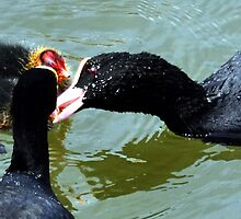 Mum and Dad Coot feeding their Babies... by lynn carter