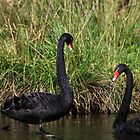 Black Swans by Margot Kiesskalt