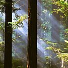 Humboldt Redwoods by Barbara  Brown