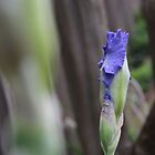 First Blue Iris by aprilann
