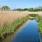 Reed Beds At Radipole Lake 2 by Susie Peek