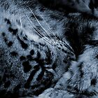THE SLEEPING SNOW LEOPARD by Leny .
