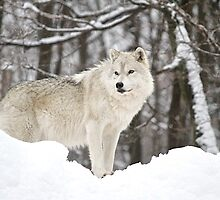 Arctic Wolfe On The Lookout by Rose Landry