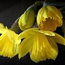 Yellow Daffodils by kkphoto1