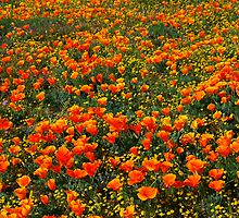 Wildflowers in Antelope Valley by Ron Hannah