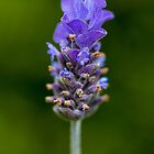 Lavender Flower by Keith G. Hawley