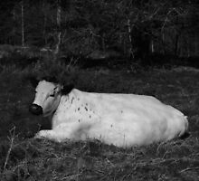 White Cow Luxuriates On Hednesford Hills by Adrian Wale