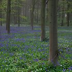 Bluebells in Oxey Wood by Nick Atkin