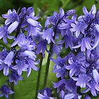Bluebell time by Rivendell7