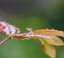 MORNING DEW by PIMPINELLA