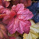 Wet Heuchera (Coral Bells) Leaves by Kenneth Keifer