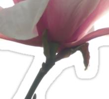 Pink magnolia unfolding Sticker