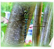 Southern Hawker  Poster
