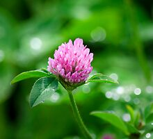 Pink Clover Flower by Christina Rollo