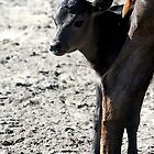 Newborn Calf Portrait by Oldetimemercan