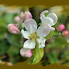 Apple Blossom Time by blacknight