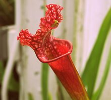 Red Pitcher Plant by PiscesAngel17