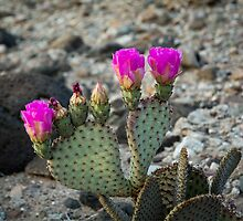 cactus flowers by Carol Fan