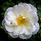 Rain on Rose by Keith G. Hawley