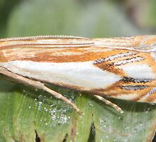 Double banded Grass Veneer Moth IMG_3815 by DigitallyStill