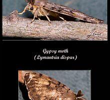 Gypsy moth by DigitallyStill