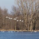 Swans Continue Their Long Journey by Thomas Young