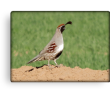 Gambel's Quail (Male) Canvas Print