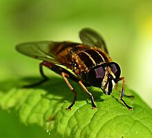 Footballer hoverfly by Clemmie