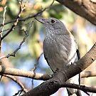 Female Grey Shrike-thrush by John Sharp