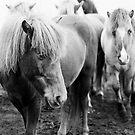 Icelandic Horse II by Natalie Broome