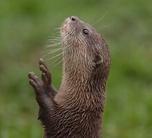 Otter reaching for food by Chris Martin