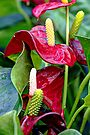 Red Anthurium andraeanum by MotherNature