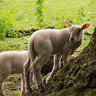 The lambs at Maplewood Farm 4 by Gabriele M - emmarts
