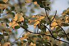 Dogwood Sunset 2 by NatureGreeting Cards ©ccwri
