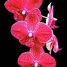 Orchid Magic II by John Thurgood