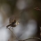 Kinglet on the go by scullyb